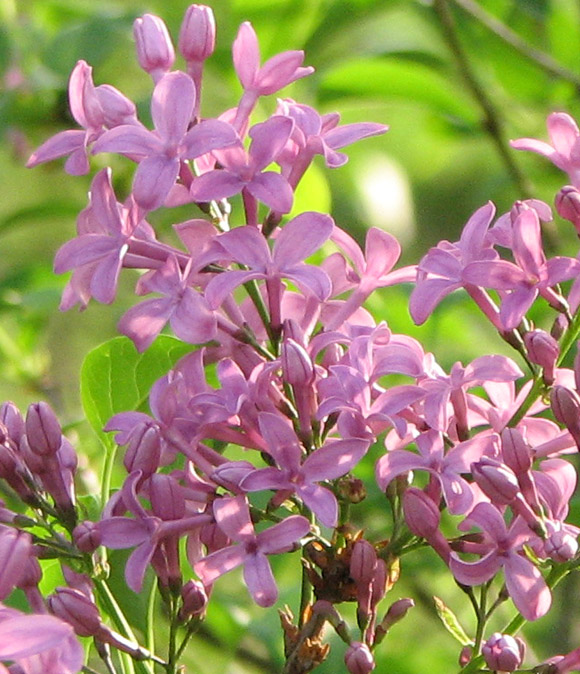 Lilac Best Flowers