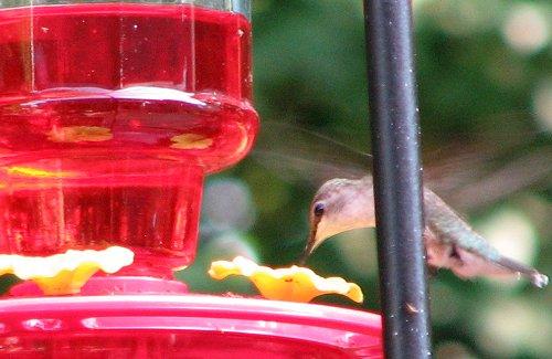 keeping ants out of hummingbird feeders rose cottage ltd. Black Bedroom Furniture Sets. Home Design Ideas