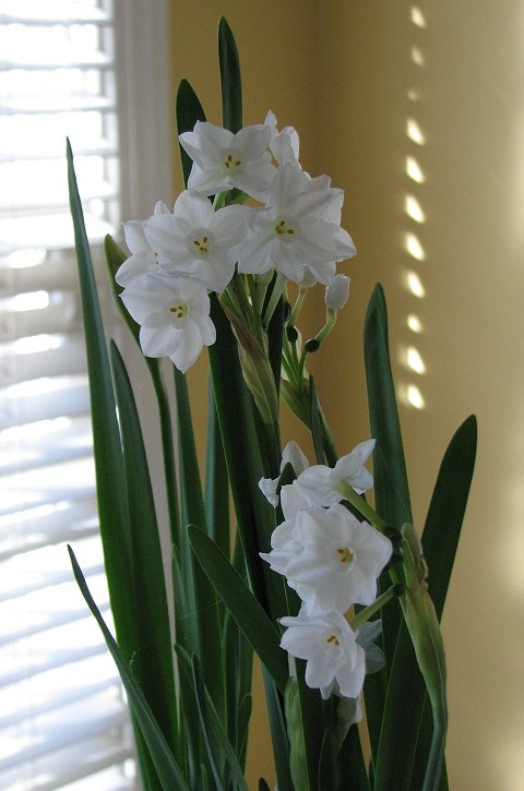 Paperwhite Narcissus blooms